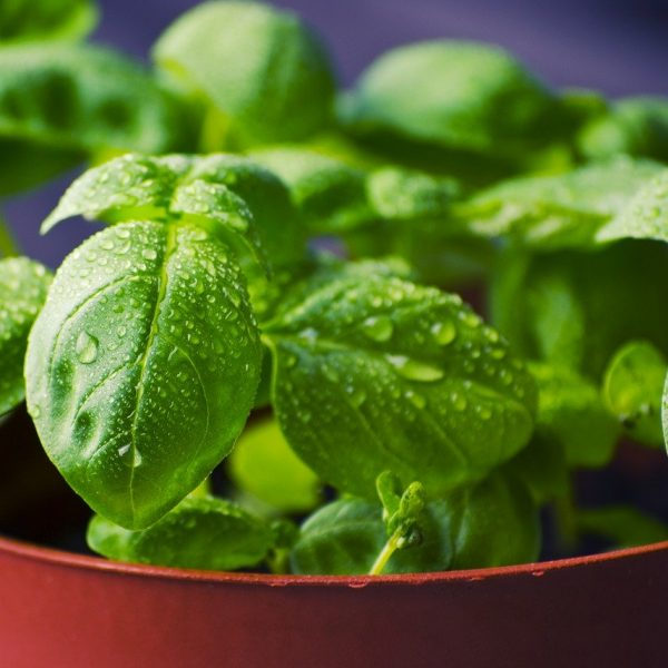 A Guide to Basil Herbs & its History