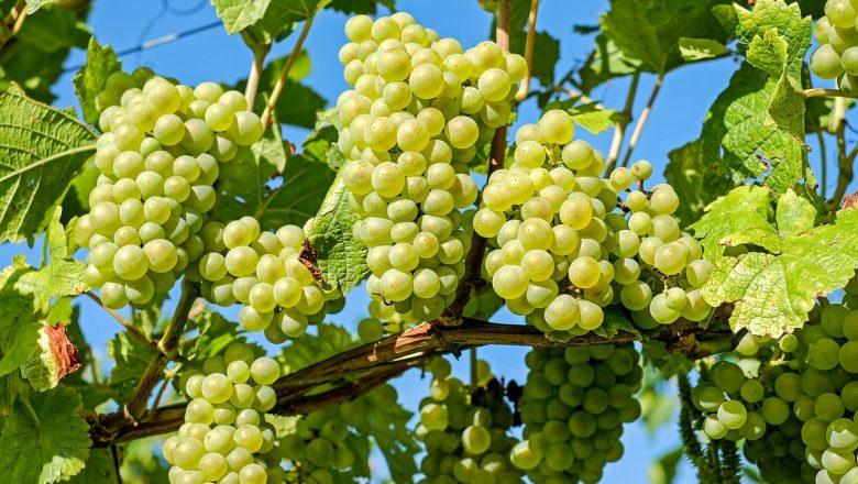 Är det Farligt att Äta för Mycket Vindruvor?